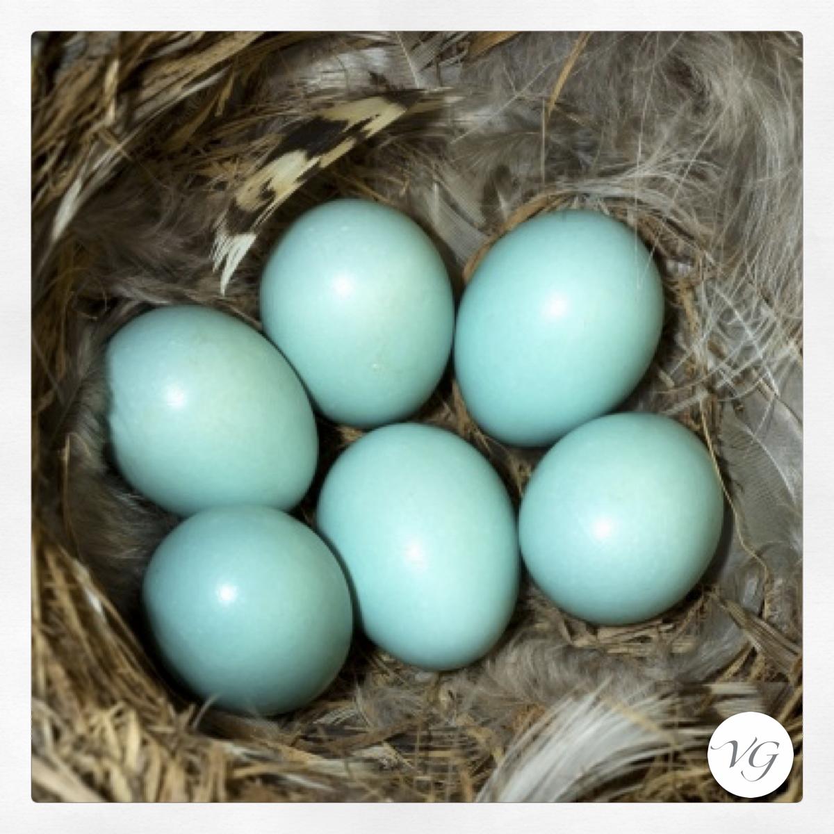 Uova pettirosso color Tiffany